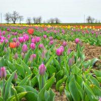 Фото тур на тюльпановое поле из Днепра и Запорожья.